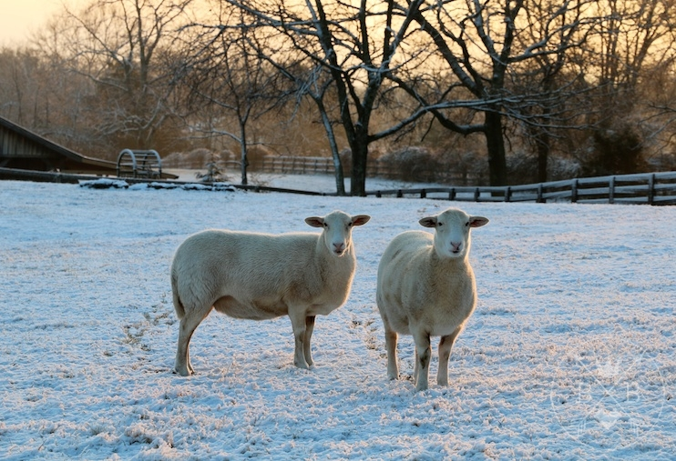 Sheep in the snow. I